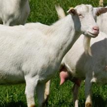 Разведение коз и овец